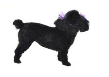 Black Toy Poodle Isolated Royalty Free Stock Photo