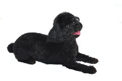 Black Toy Poodle Isolated Stock Image