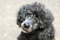 Black Toy Poodle Posing royalty free stock photography