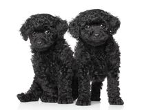 Black toy poodle puppies Stock Photos