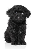 Black Toy poodle puppy Stock Photo