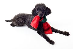 Black toy poodle with red and green scarf isolated Stock Photo