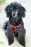 Black Toy Poodle with Red Harness stock images