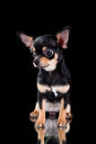 Black toy terrier. On a black background and a mirror Royalty Free Stock Image