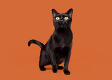 Black traditional bombay cat Stock Images