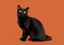 Black traditional bombay cat. On nuts background stock photos