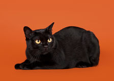 Black traditional bombay cat Royalty Free Stock Images