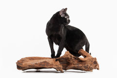 Black traditional bombay cat on white background Stock Images