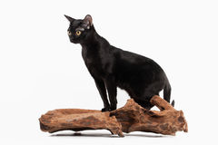 Black traditional bombay cat on white. Background Royalty Free Stock Images