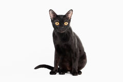 Black traditional bombay cat on white Royalty Free Stock Photo