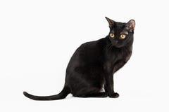 Black traditional bombay cat on white background. Traditional bombay cat on white background Stock Photo