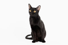 Black traditional bombay cat on white background Stock Photos