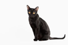 Black traditional bombay cat on white background Royalty Free Stock Photography