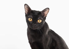 Black traditional bombay cat on white Stock Photos