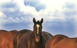 Black Trakehner Horses Royalty Free Stock Photography