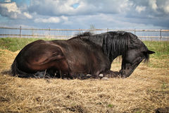 Black trakehner stallion lying. On the straw in the summer Royalty Free Stock Image