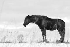 Black trakehner stallion sleeping. On snow Royalty Free Stock Image