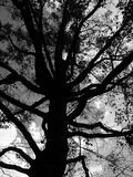 Black Tree. A oak tree shot in the black & white mode stock photos