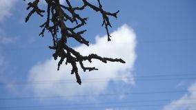 Tree branch against the sky. Black tree branch against the blue sky stock video