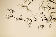 Black tree branches against the sky sepia Royalty Free Stock Image