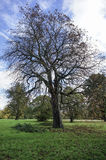 Black tree. At hyde park London, UK Stock Photography