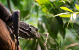 Black Tree Monitor Stock Photography