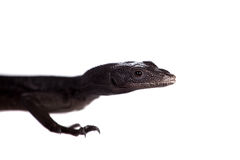 Black tree monitor lizard on white. Black tree monitor lizard, varanus beccari, isolated on white Royalty Free Stock Photography