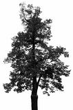 A black tree silhouette Stock Photography