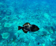 Black Triggerfish on coral reef background. Molokini, Maui, Hawa Royalty Free Stock Image