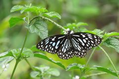 black tropical butterfly  royalty free stock photography