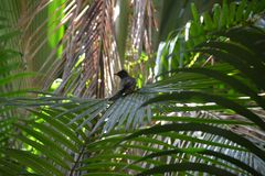 Black Tropical Bird Perched on Palm Leaf Royalty Free Stock Photography