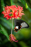 Black tropical butterfly on hibiscus flower Stock Photo