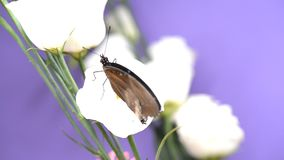 Black tropical butterfly sitting on a flower. And flapping wings stock video