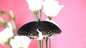 Black tropical butterfly sitting on a flower. And flapping wings stock footage