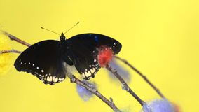 Black tropical butterfly sitting on a stick. And flapping wings stock video footage