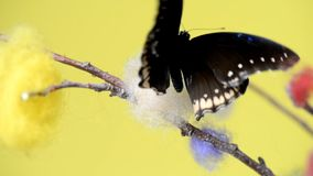 Black tropical butterfly sitting on a stick. And flapping wings stock video