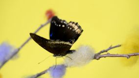 Black tropical butterfly walking away on a stick. And flapping wings stock video