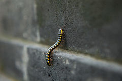 Black tropical millipede on a stone wall. Black tropical millipede with yellow spots on the stone wall crawling upstairs Stock Photos