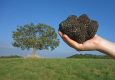 Black truffle and oak tree Stock Photo