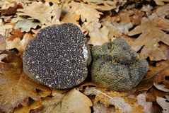 Black truffle (tuber melanosporum) Stock Photography