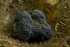 Black truffles Stock Photos