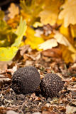 Black truffles royalty free stock photo
