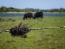Black tuft of hair at barbed wire with galloway cattle behind stock photos