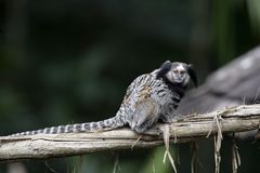 Black tufted-ear marmoset, Callithrix penicillata. In Brazil Royalty Free Stock Photo