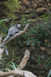Black tufted-ear marmoset, Callithrix penicillata, Brazil Royalty Free Stock Photo