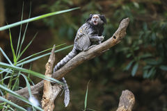 Black tufted-ear marmoset, Callithrix penicillata, Brazil Stock Photography