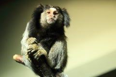 Black tufted-ear marmoset Stock Images