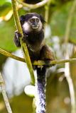 Black tufted ear marmoset in the woods royalty free stock photo