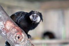 Black-tufted marmoset. Animal theme: black-tufted marmoset stock photography