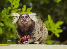 Black-tufted marmoset. Brazil, City of Rio de Janeiro, Leme, Black-tufted marmosetCallithrix penicillata in the green area with the Atlantic Forest Royalty Free Stock Photos